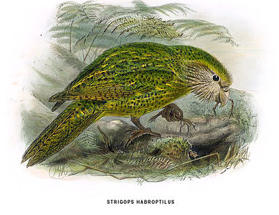 Illustration of a Kakapo